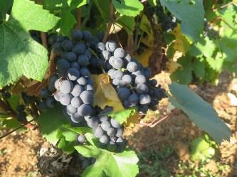 Vosne Village Grapes Cuverie rear Day 1 (1)