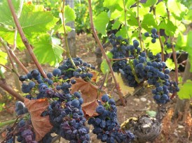 Vosne-Village-grapes-they-got-better