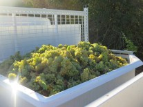 Noellat HCDN Chard grapes on truck