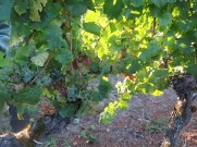 Noellat HCDN Chard grapes