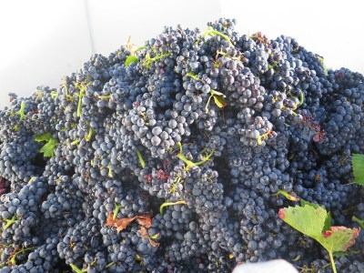 Noellat Vendange Final Day HCDN Pinot grapes