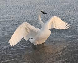 Trumpeter swan - wings wide