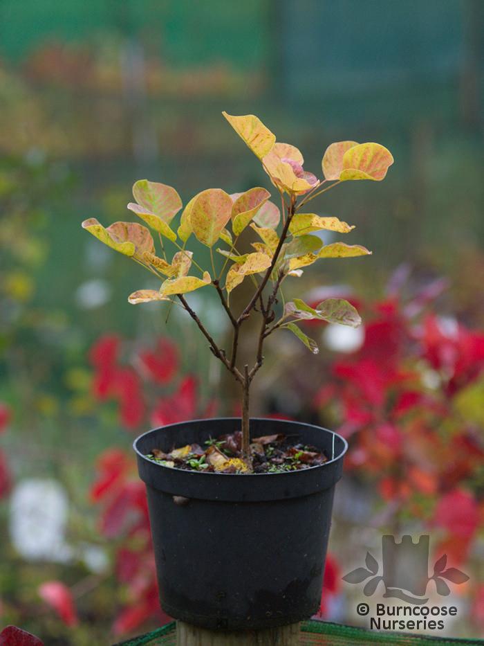 Cotinus Coggygria Golden Spirit from Burncoose Nurseries