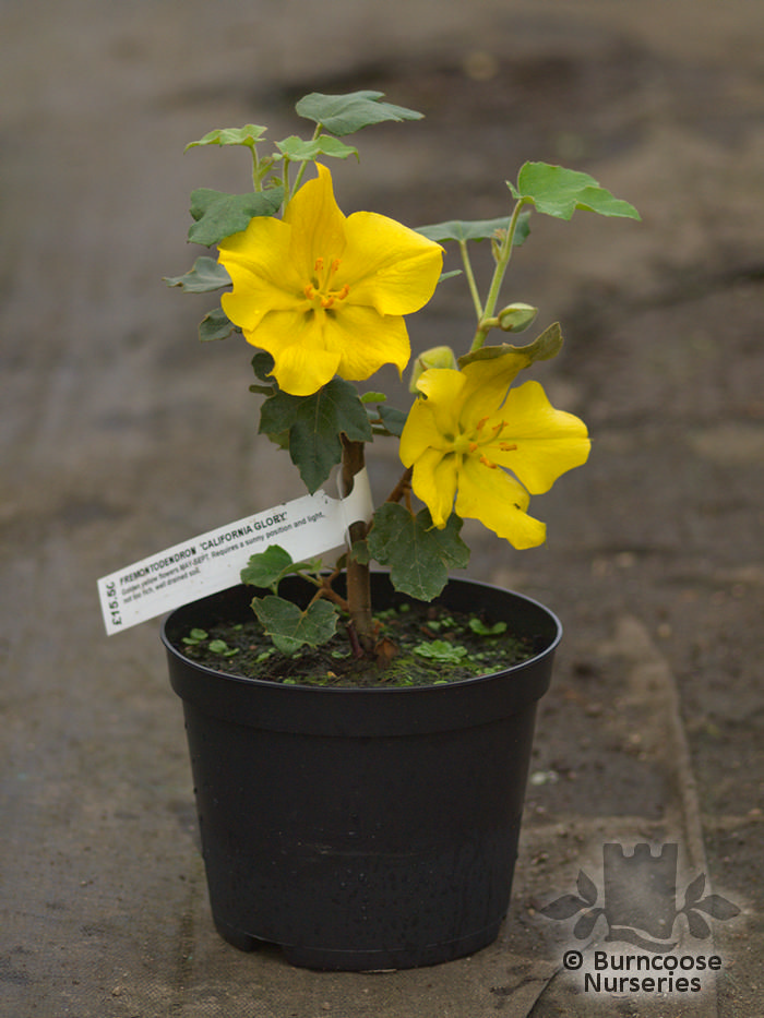 Fremontodendron California Glory from Burncoose Nurseries