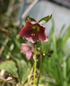 hellebore flower
