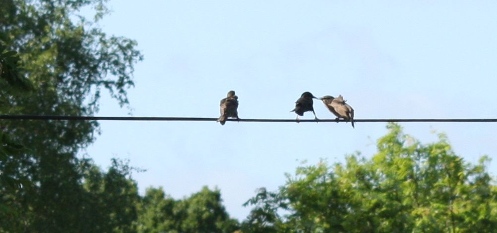three starlings on a telephone wire, adult feeding a juvenile