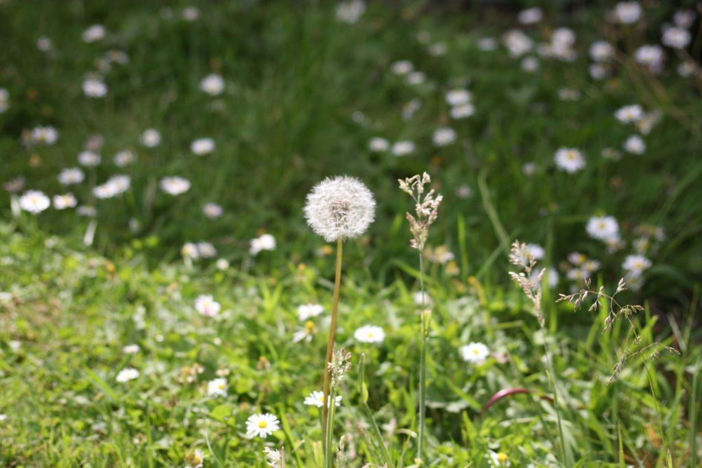 dandelion clock among daisies