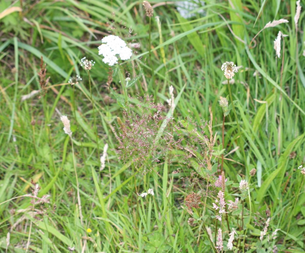 yarrow and plantain in flower, yorkshire fog grass