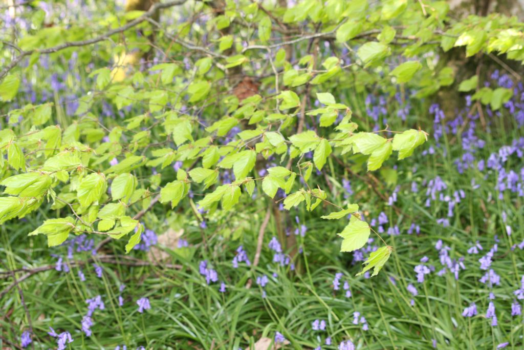 newly opened beech leaves and bluebells
