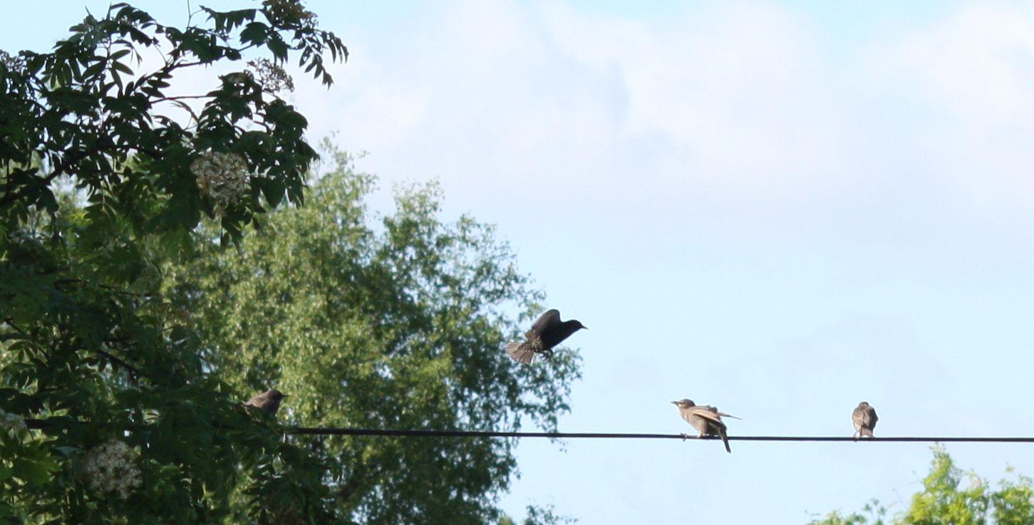 starlings practising flying