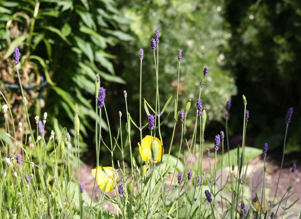 a row of lavender heads, and a welsh poppy