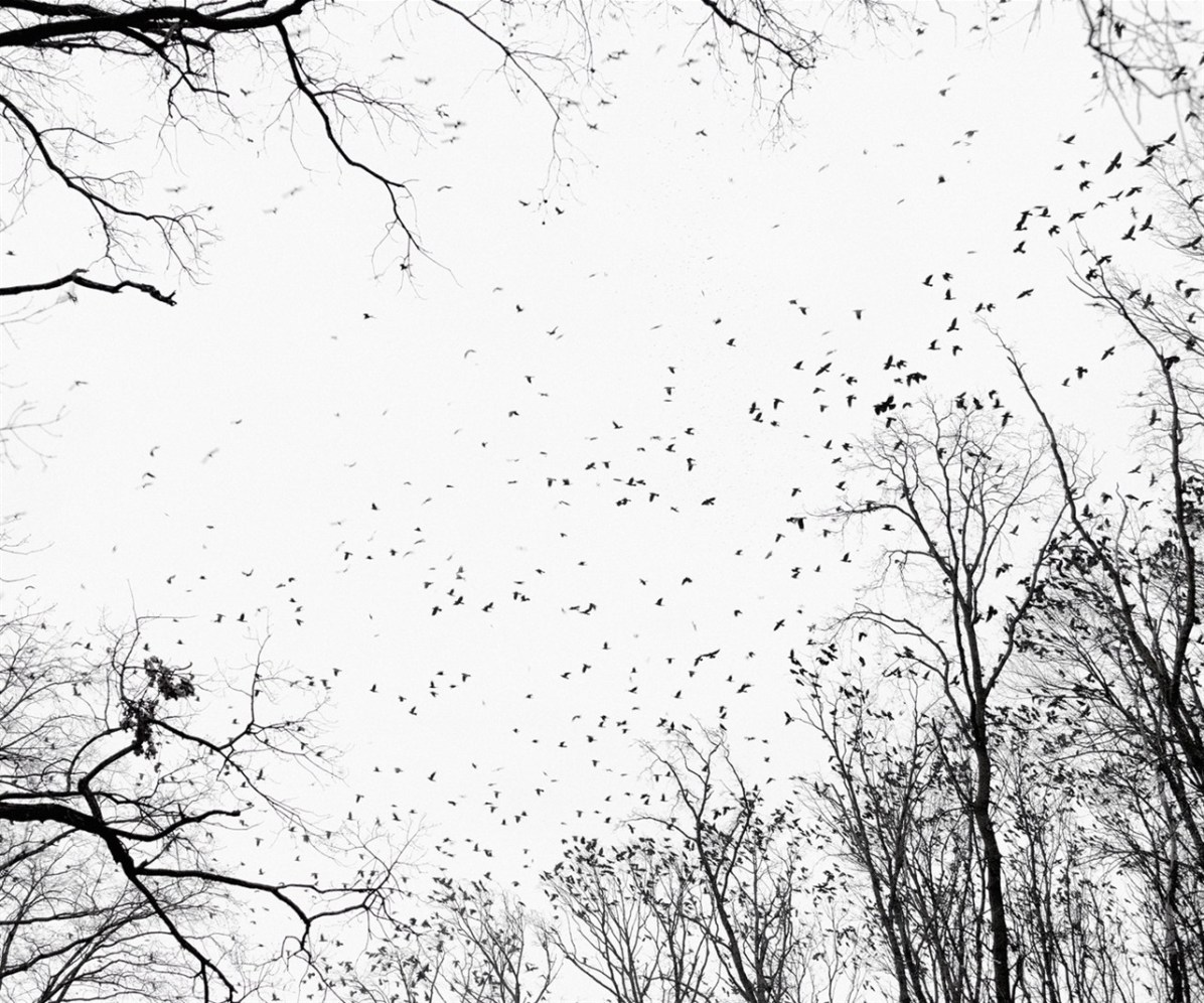 Crows, near Debrecen, East Hungary