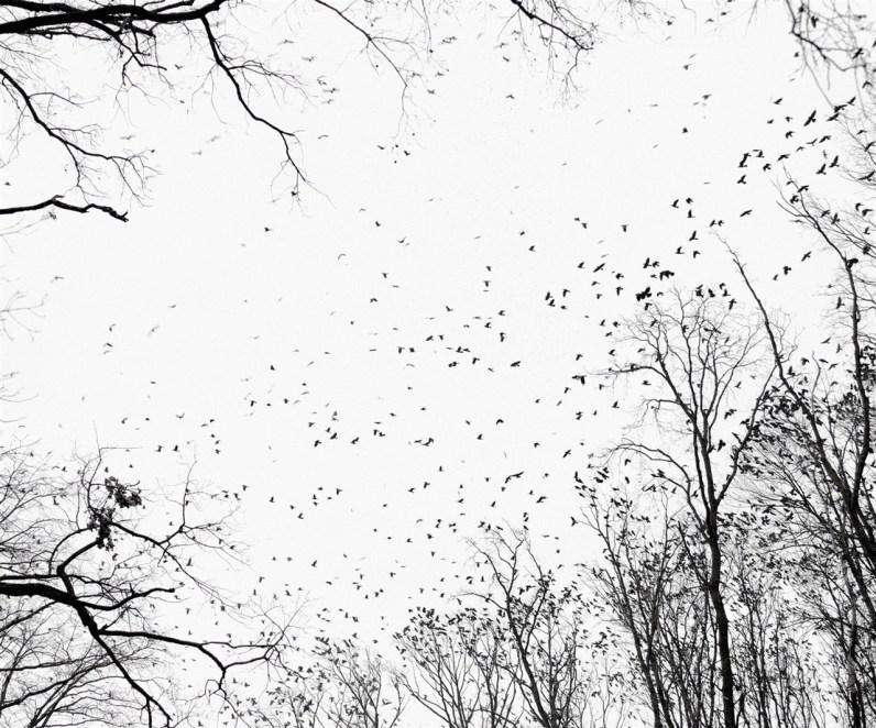 Crows, near Debrecen, East Hungary