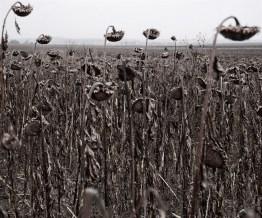 Sunflowers, Balatonakarattya, West Hungary.