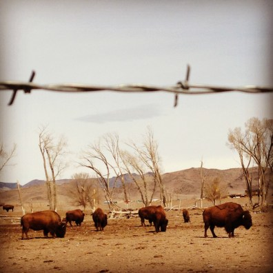 Bison Herd. Del Norte, Colorado.