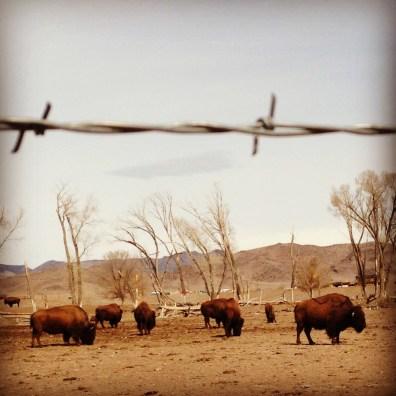 Bison Herd. Del Norte, Colorado.