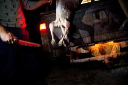 A freshly killed kangaroo is bled on the back of a vehicle. Kangaroo is a major source of food to many Barkindji. David Maurice Smith/Oculi.