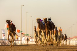 In the UAE, the tracks are usually between 4km and 10km long depending on the size and age of the camels. Camels can speed up to 65km/h (40mph).