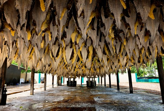 """Colombia, Puerto Giraldo, two hours from Barranquilla.Thousands of caiman skins stretched out in the open after the first cleaning process and salting on the farm.The skins of breeding """"Repticosta"""" are intended to Eastern Market, the skins will be exhibited here in Singapore within 20 days."""