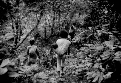 A party of Batek Negrito make their way through the old growth rainforest without getting lost. Aside for some store-bought rice, the Batek depend on the forest of all of their food. Women collect tubers (wild yams) and various forest greens, in addition to fishing to contribute staples to the Batek diet. In some river valleys, Malays colonized the riverbanks in the early 20th century and planted fruit trees but were forced out during the Malayan (Communist) insurgency (1948 -1960) when guerillas used the rainforest as their base of operations to mount ambushes. The Malay farmers never returned but many of the fruit trees from the abandoned homesteads remained productive to this day. Monoculture oil palm plantation, with the concept of land ownership, puts an immediate end to such gathering. Near Kuala Koh, Kelantan, Malaysia.