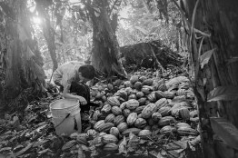 """Nicaragua, in rural area """"Los Guatuzos"""", the extreme south of the country. Ander, 7 years old, works in the cocoa plantation of his father. Three out of five Nicaraguan children working in agriculture."""