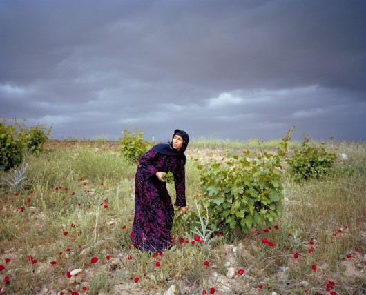 Leyla is picking up grape leaves for her traditional dolma recipe in the fields of Harran. The Atatürk Dam and the Şanlıurfa Tunnel system are two major components of the GAP project. Irrigation started in the Harran Plain in the spring of 1995. The impact of the irrigation on the economy of the region is significant. In ninety percent of the irrigated area, cotton is planted. Irrigation expansion within the Harran plains also increased Southeastern Anatolia's cotton production from 164,000 to 400,000 metric tons in 2001, or nearly sixty percent. With almost 50% share of the country's cotton production, the region developed to the leader in Turkey. Harran, Turkey