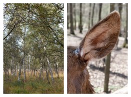 "14 - ""Birch forest & Ear of a deer"" - 5289e25e-eb35-4879-8695-e04af515aba2"