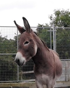 Billy, 2yr old gelded donkey