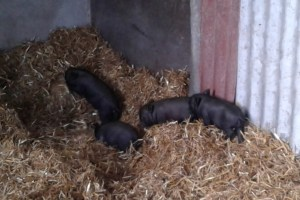 The piglets running to hide from the approaching human on the 28-3-16
