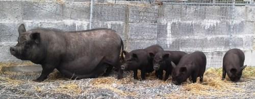 Doris & Piglets
