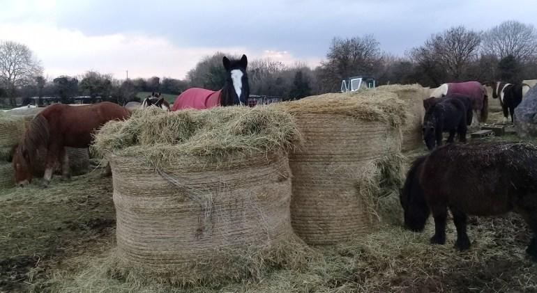 sampling the new hay