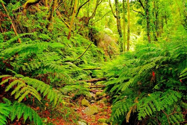 ruta por los bosques de Laurisilva de la Palma