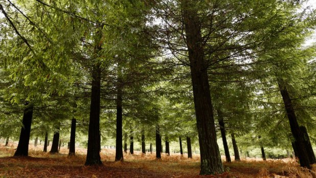 Bosque de Colón de secuoyas