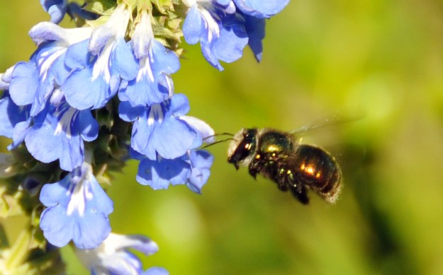 Bee approaching blue flowers courtesy of Megan Halcroft beesbusiness