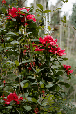 Waratahs in full bloom, Long Angle Creek 2015