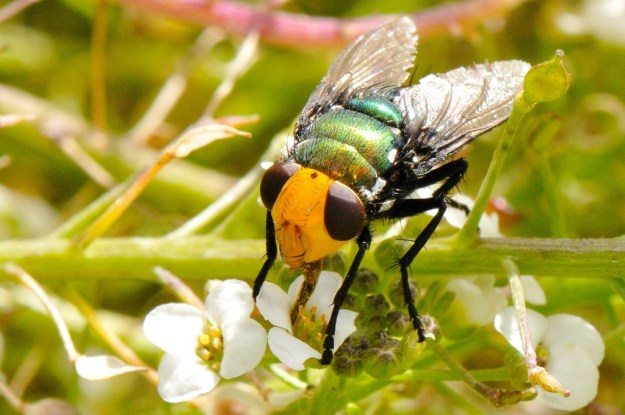 Snail parasitic blowfly - Amenia sp
