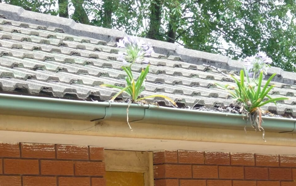 Agapanthus growing in the gutters of a house