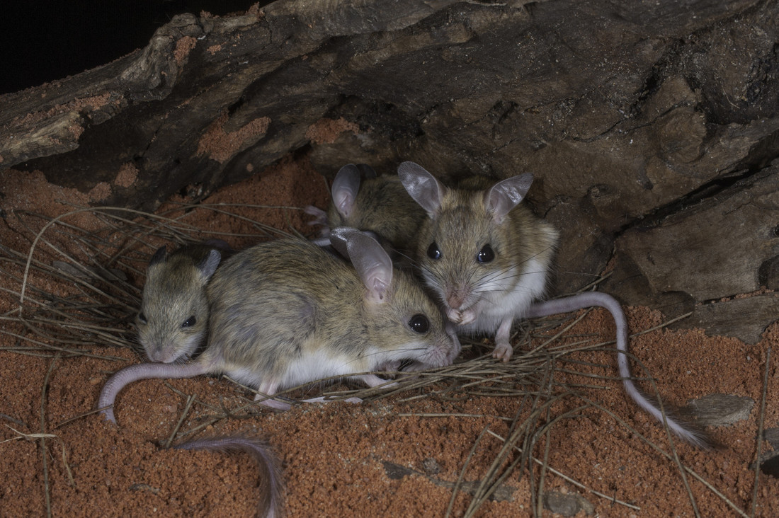 small resolution of spinifex hopping mice photo steve parish
