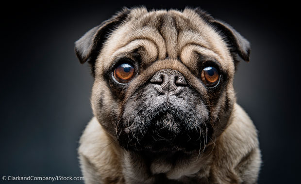 Marketing has fuelled the trend towards flatfaced dogs