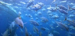 Pacific tuna. Credit: SPC
