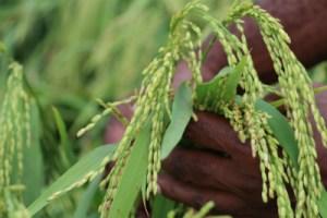 Trukai is developing a rice plantation in Central Province. Credit: Trukai.