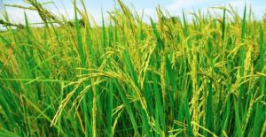Rice policy may end our rice production in Papua New Guinea, says Trukai CEO