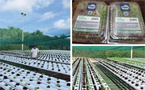 Hydroponics replacing imported fresh vegetables on Nauru. Credit: Pacific Pulse.