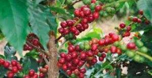 Coffee Industry Corporation proposes new 10-year plan to arrest industry decline