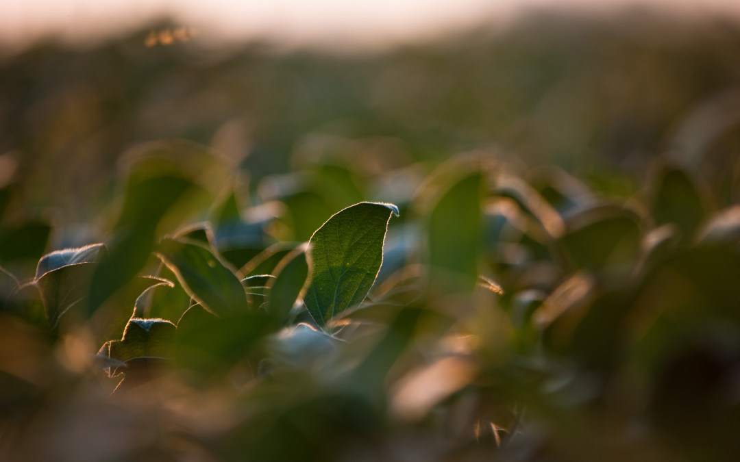 Researchers have found a way to reduce the cyst nematode, which preys on soybeans.