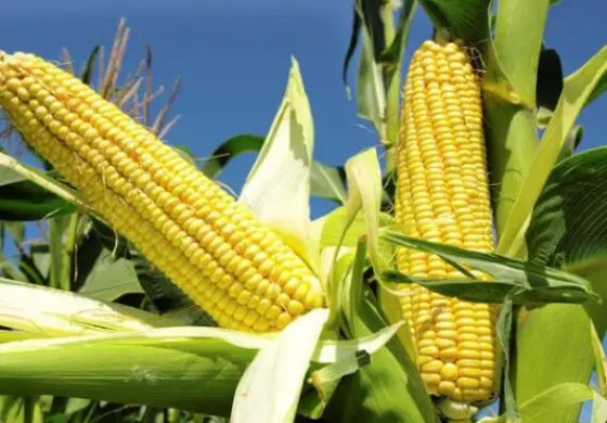 Kaduna govt. supports farmers to boost Maize, Rice and Ginger production