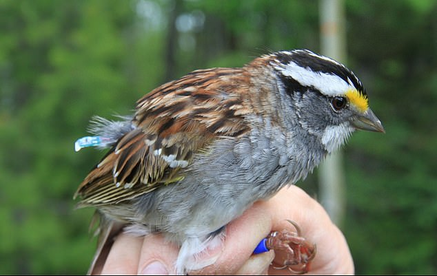 The song spread when populations from different areas overwintered in the same areas. Electronic tags transmitting the birds locations revealed this overlap