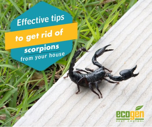 Effective tips to get rid of scorpions from your house