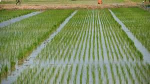 Rice farming business plan in Nigeria