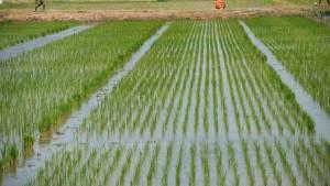rice farming, processing, business plan